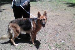 Aniworld-Veterinary-Clinic-German-Shepherd